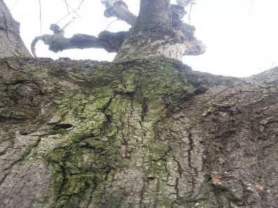 mopana-scarry-tree-04